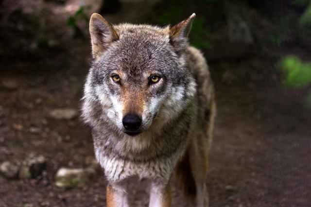 wolf-predator-hunter-canis-lupus-39310.jpeg